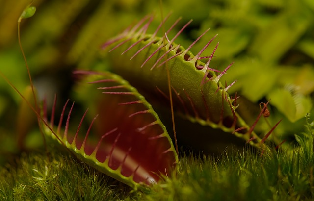masožravá rostlina