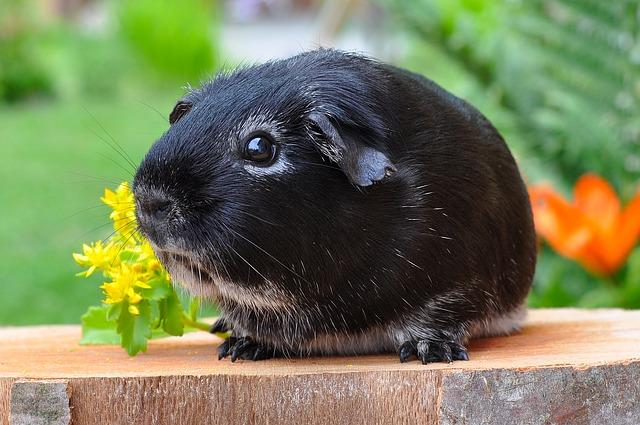 černé morče
